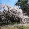 京都御苑の糸桜